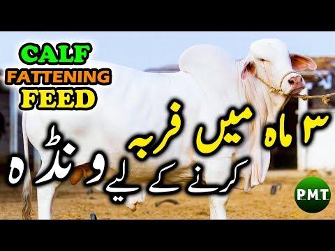 Feed Making for Calf Fattening in 3 Months | Wanda in Urdu | بچھڑوں کو 3 ماہ میں فربہ کرنے کے ونڈہ