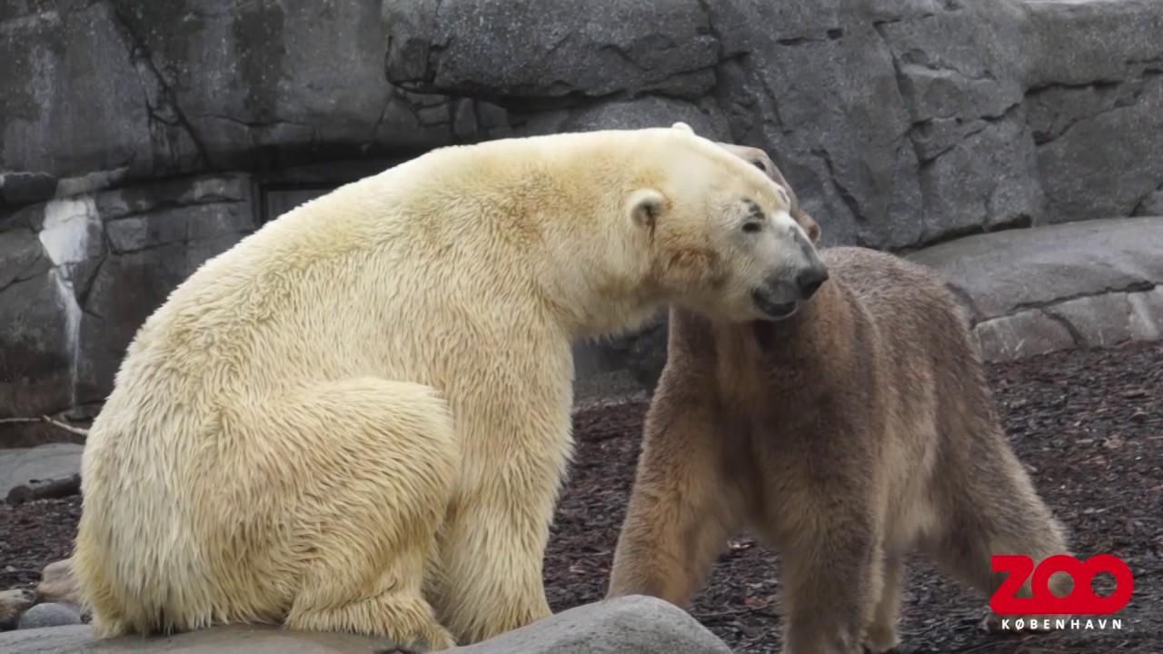 Белый медведь из зоопарка Удмуртии переехал в Данию