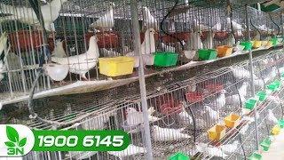 Nông nghiệp | Phát triển nuôi chim bồ câu nhờ nguồn vốn hỗ trợ nông dân