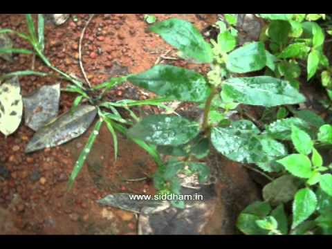 Herbal Medicine – Euphorbia hirta – Natural Remedy for Warts