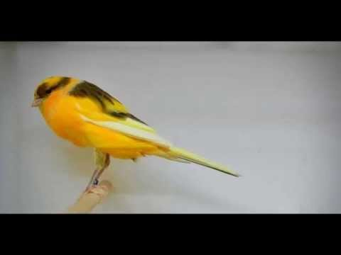 Terapi Burung Kenari ( SINGING CANARY ) Mp3