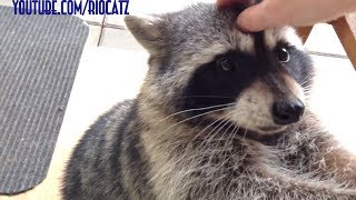 Fred - The Friendly Raccoon