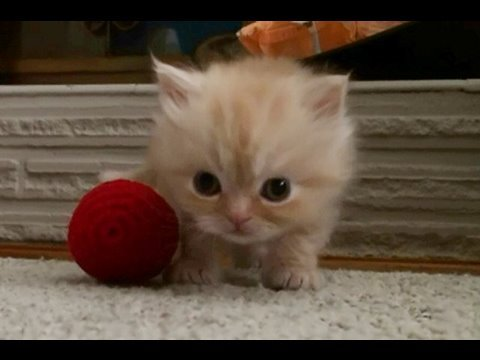 Tabby kitten and ball of yarn