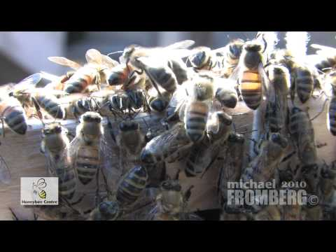 Canadian Honeybee Centre Bee Swarm Close Up – Michael Fromberg
