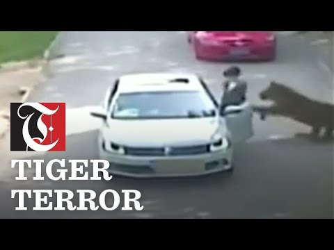 Woman dragged from a car by a tiger.