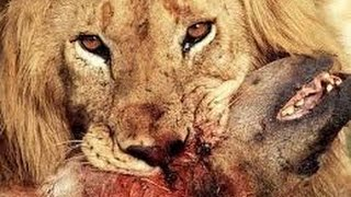 Video ► Lions Documentary - REAL CONFRONTATION: Lions vs Hyenas National Geographic | HD MP3, 3GP, MP4, WEBM, AVI, FLV November 2018