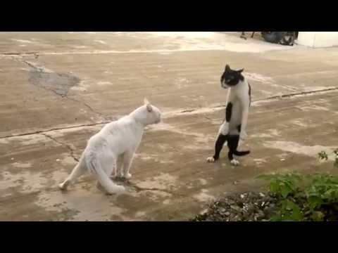 قط يقف على قدميه بشكل مضحك جدا .. لا يفوتكم