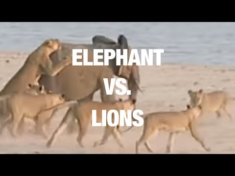 Elephant Somehow Manages to Fend off Lion Attack