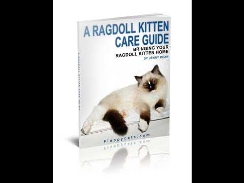 0 A Ragdoll Kitten Care Guide: Bringing Your Ragdoll Kitten Home
