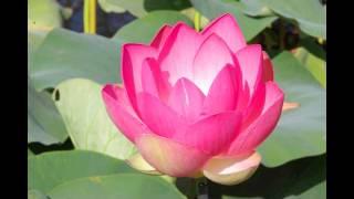 Timelapse Lotus 2