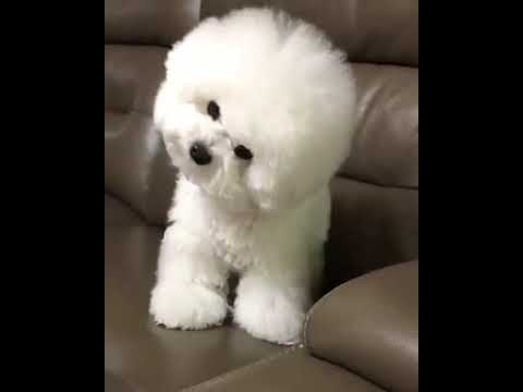 MUST WATCH |CUTEST DOG | FLUFFY SOFT TOY LIKE | BICHON FRISE BREED | SNOW BEAR LIKE | WELL GROOMED |