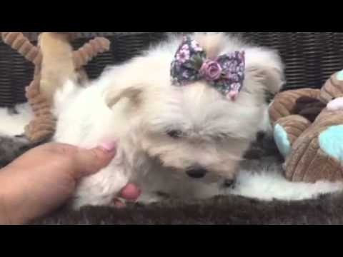 Outrageously adorable, Compact Maltese baby girl