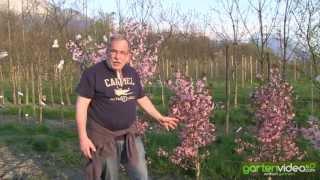#1034 Japanische MiniZierkirsche - Prunus kurilensis Ruby