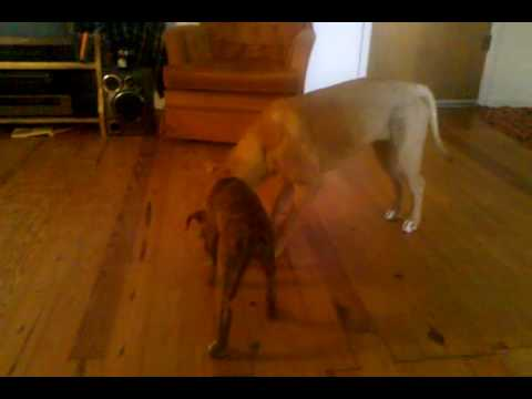 Pitbull Fight to The Death!!!!