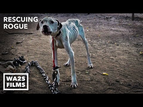 Pit Bull Starved on Heavy Chain Rescued by Pit Crew! Rescuing Rogue - Hope For Dogs | My DoDo