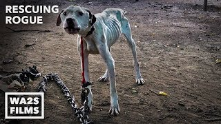 Video Pit Bull Starved on Heavy Chain Rescued by Pit Crew! Rescuing Rogue - Hope For Dogs | My DoDo MP3, 3GP, MP4, WEBM, AVI, FLV Juli 2019