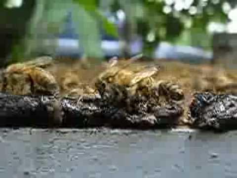 Propolis dan lebah madu.MOV