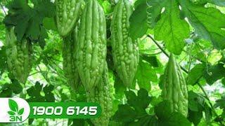 Trồng trọt | Liều thuốc chữa cho cây khổ qua mắc bệnh do nấm gây hại