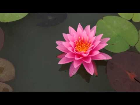 บัว shock pink เป็นบัวสีชมพู ดอกใหญ่ สีสวยสด