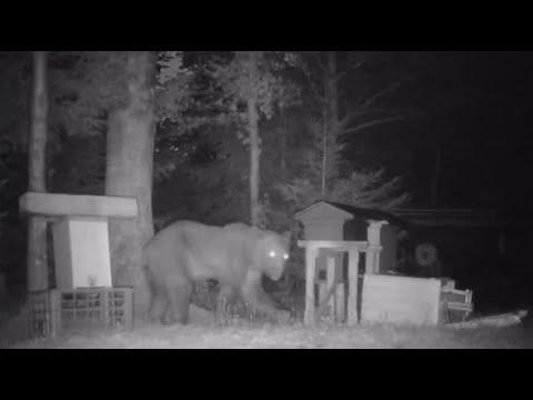 Bären in Polen: Tierisch wildes Nachtleben - das Onli ...