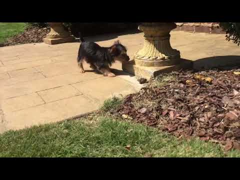 Ready now. Gypsy the Toy Yorkshire Terrier. Gypsy is a very relaxed, friendly, potty trained Yorkie