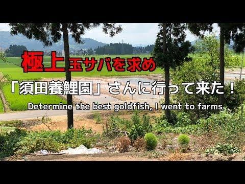 玉サバを求め「須田養鯉園」さんに行って来た!