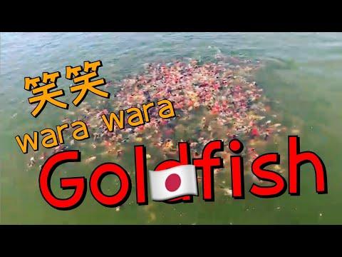 志村養魚場の池 東錦2歳 金魚と遊ぶ.com