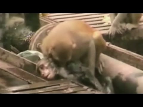 CPR so easy a Monkey can do it