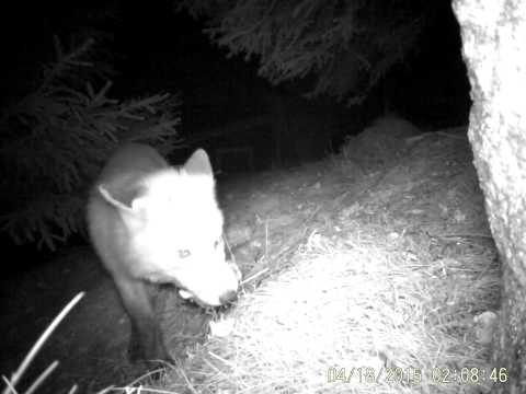 Trail camera Ltl Acorn 6310 WMG MG Red Fox at night
