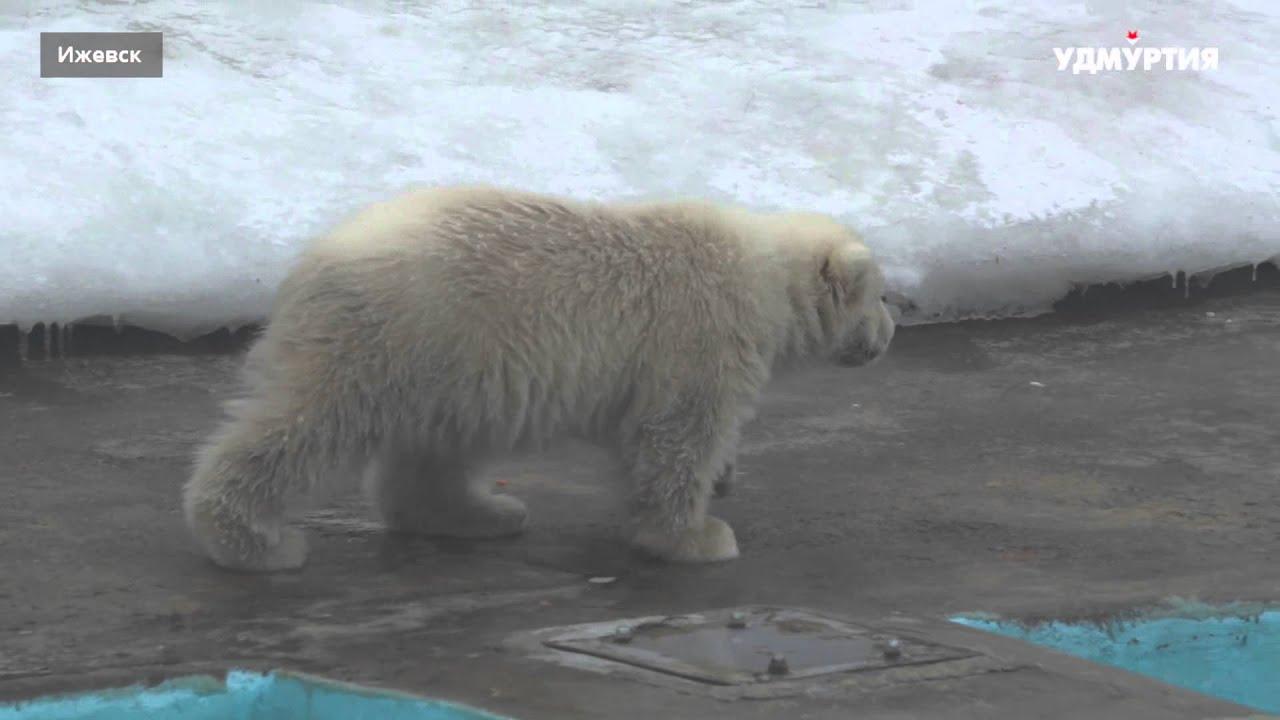 Белые медвежата на прогулке