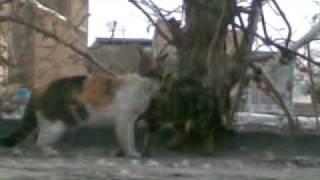 گربه های ایرانی و دعوا بر سر قلمرو
