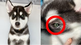 My Puppies have a RARE Eye Color!?