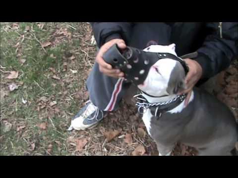 Brooklyn Blue Bullies (Muzzle training) (видео)
