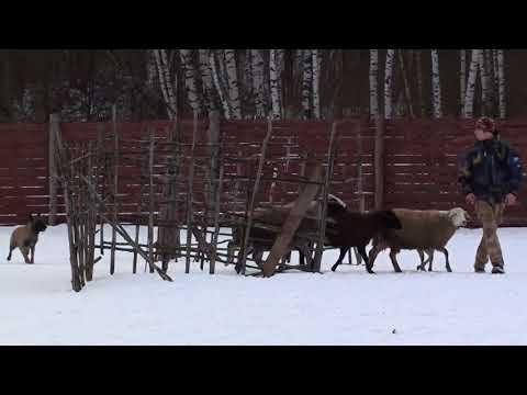 Пастьба овец - тестирование бельгийской овчарки