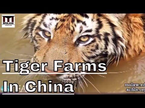 Tiger Farming - Breeding Monster ohne Einsatz im Naturschutz.