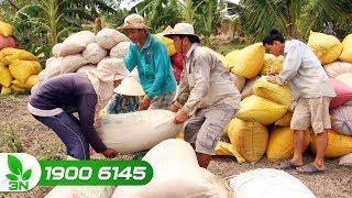 Nông nghiệp | Xuất khẩu gạo nếp khó vào Trung Quốc vì bị áp thuế cao