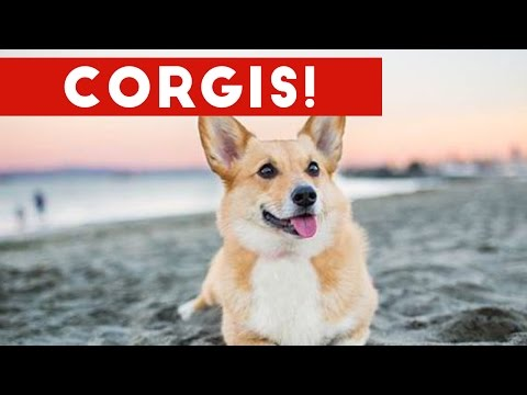Funny Corgi Compilation 2017 | Best Funny Corgi Videos Ever