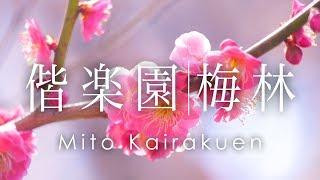 空撮 水戸 偕楽園 梅林 | Plum Blossoms in Mito Kairakuen
