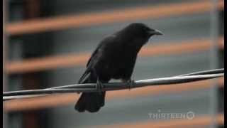 Nonton Crows   Documentary On The Intelligent World Of Crows  Full Documentary  Film Subtitle Indonesia Streaming Movie Download