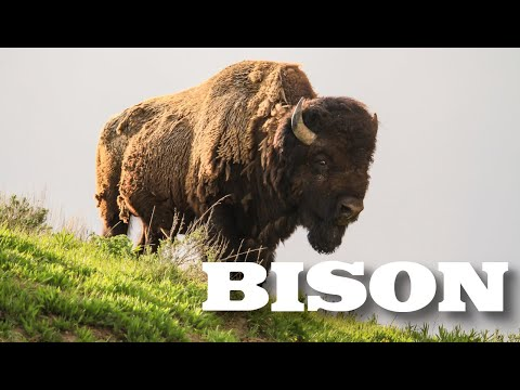 All About American Bison (aka Buffalo) for Kids - Animal Videos for Children - FreeSchool