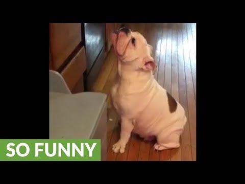 il-bulldog-che-vuole-i-premietti