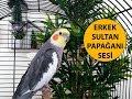 Erkek Sultan Papağanı Sesi Ötüşü
