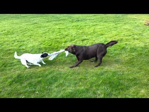 jack russell vs labrador!