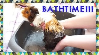 I hope you find this video useful and fun to watch! Tips on how I use Gorgeous Guineas products, and keeping guinea pigs calm through shampooing, rinsing and drying. TOP TIP: Holding your guinea pig mostly out of the water is the best way to keep stress to a minimum, this way only their back feet are actually submerged, and you can still wash them thoroughly with your free hand.