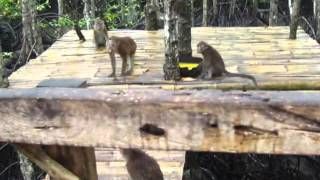 Loon Philippines  City pictures : Mangrove Monkeys in Loon Bohol Philippines