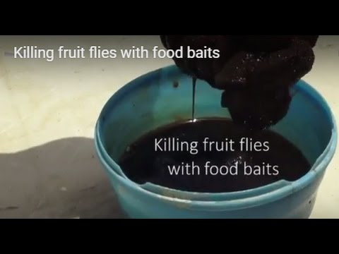 Killing fruit flies with food baits