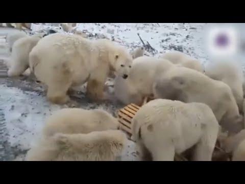 Hungrige Eisbären: Russische Behörden rufen am Nordpo ...
