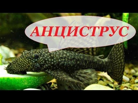 видео как выращивают сомов