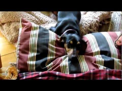 Cute Dachshund Puppy Destroys Home