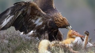 The Golden Eagle Hunting Fail almost dead - But if Two eagles attack the wolf?  hunting wolves?